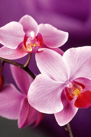 Орхидеи красивые картинки на телефон на заставку - подборка 20 фото 13