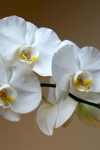 Орхидеи красивые картинки на телефон на заставку - подборка 20 фото 3