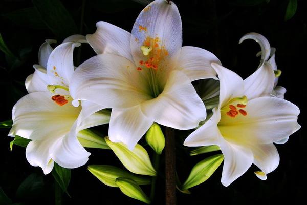 Очень красивые и прекрасные картинки, фото Белая лилия - подборка 11