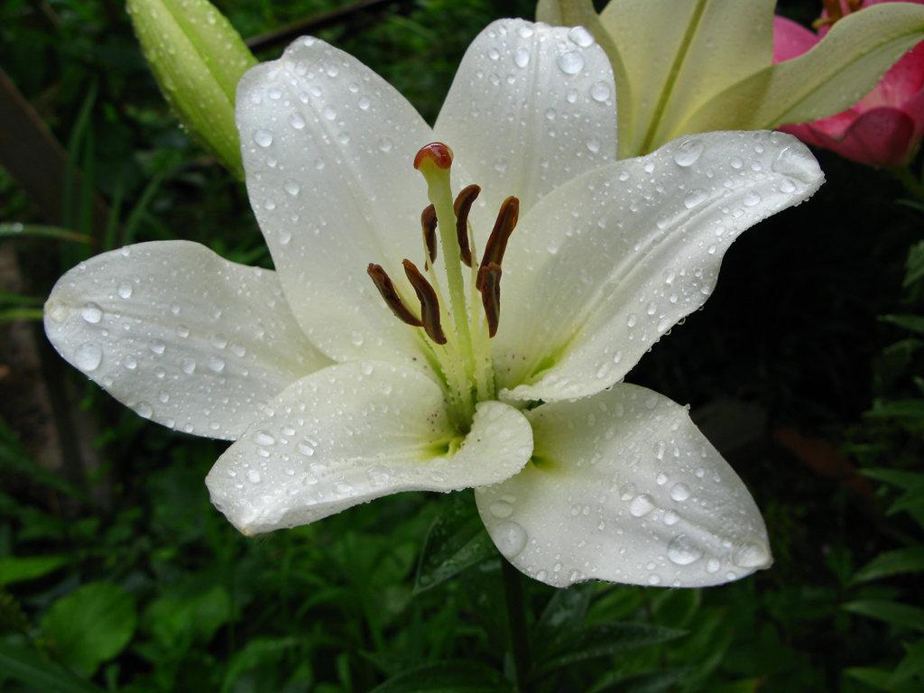 Очень красивые и прекрасные картинки, фото Белая лилия - подборка 2