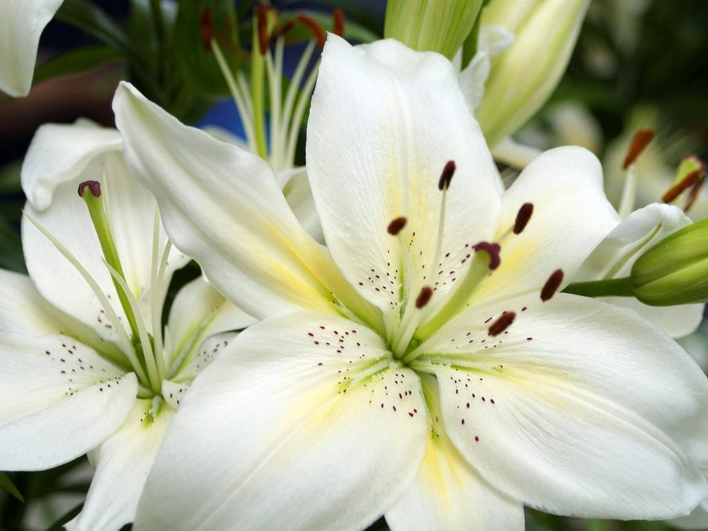 Очень красивые и прекрасные картинки, фото Белая лилия - подборка 4