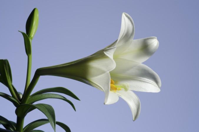 Очень красивые и прекрасные картинки, фото Белая лилия - подборка 5