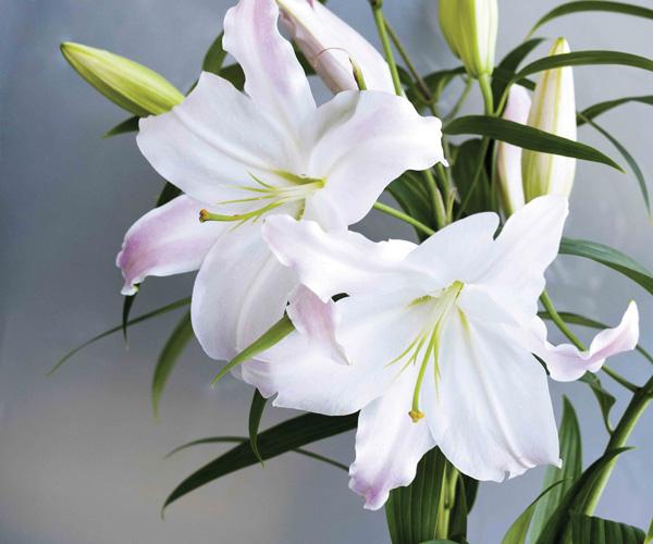 Очень красивые и прекрасные картинки, фото Белая лилия - подборка 8