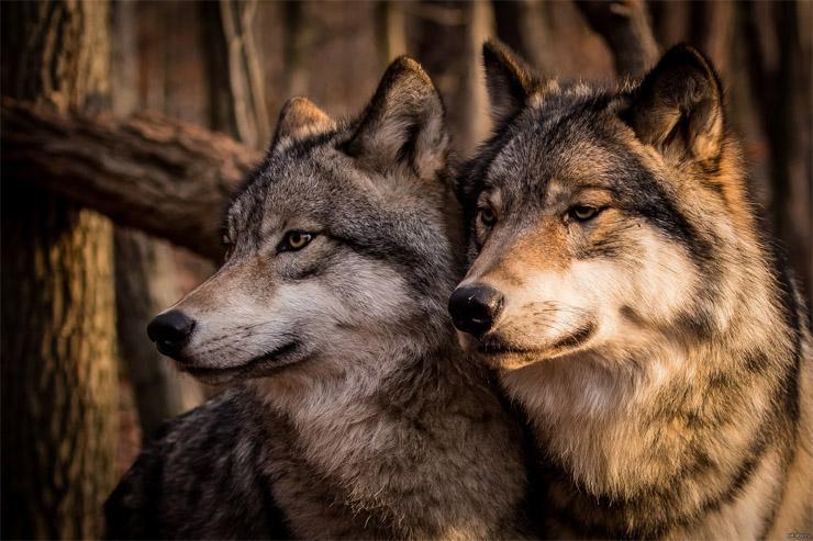 Очень красивые картинки волка и волчицы - подборка изображений 12