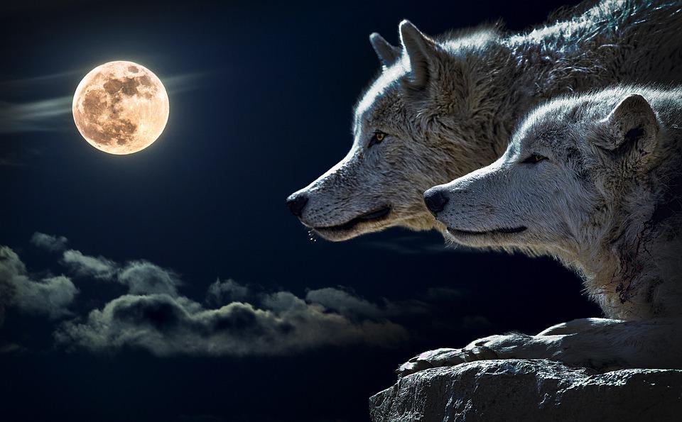 Очень красивые картинки волка и волчицы - подборка изображений 16