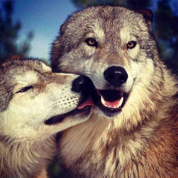 Очень красивые картинки волка и волчицы - подборка изображений 6