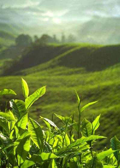 Полезные свойства чая тулси из священного базилика, его применение 1