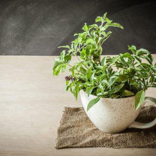 Полезные свойства чая тулси из священного базилика, его применение 2
