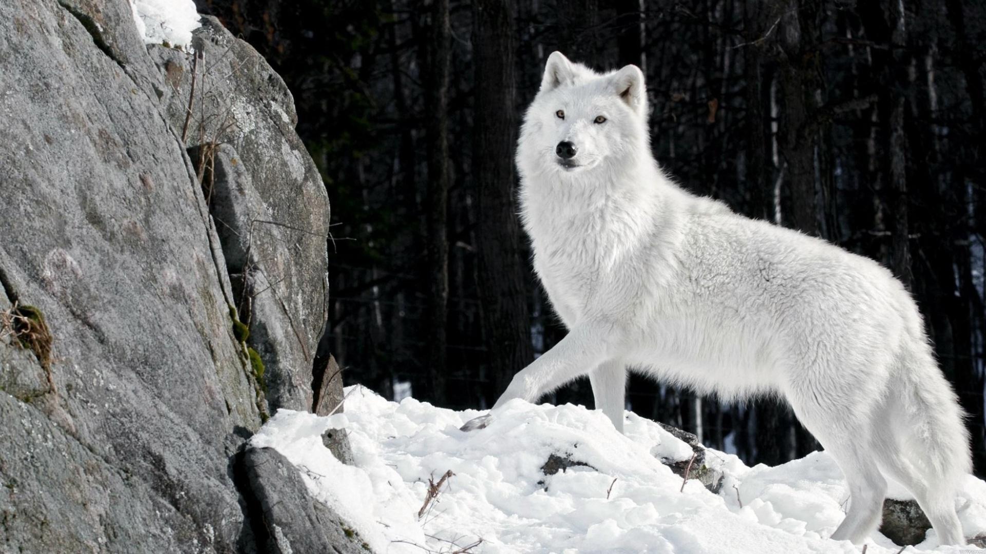 Классные картинки на рабочий стол волки, волчица, волк - подборка 1