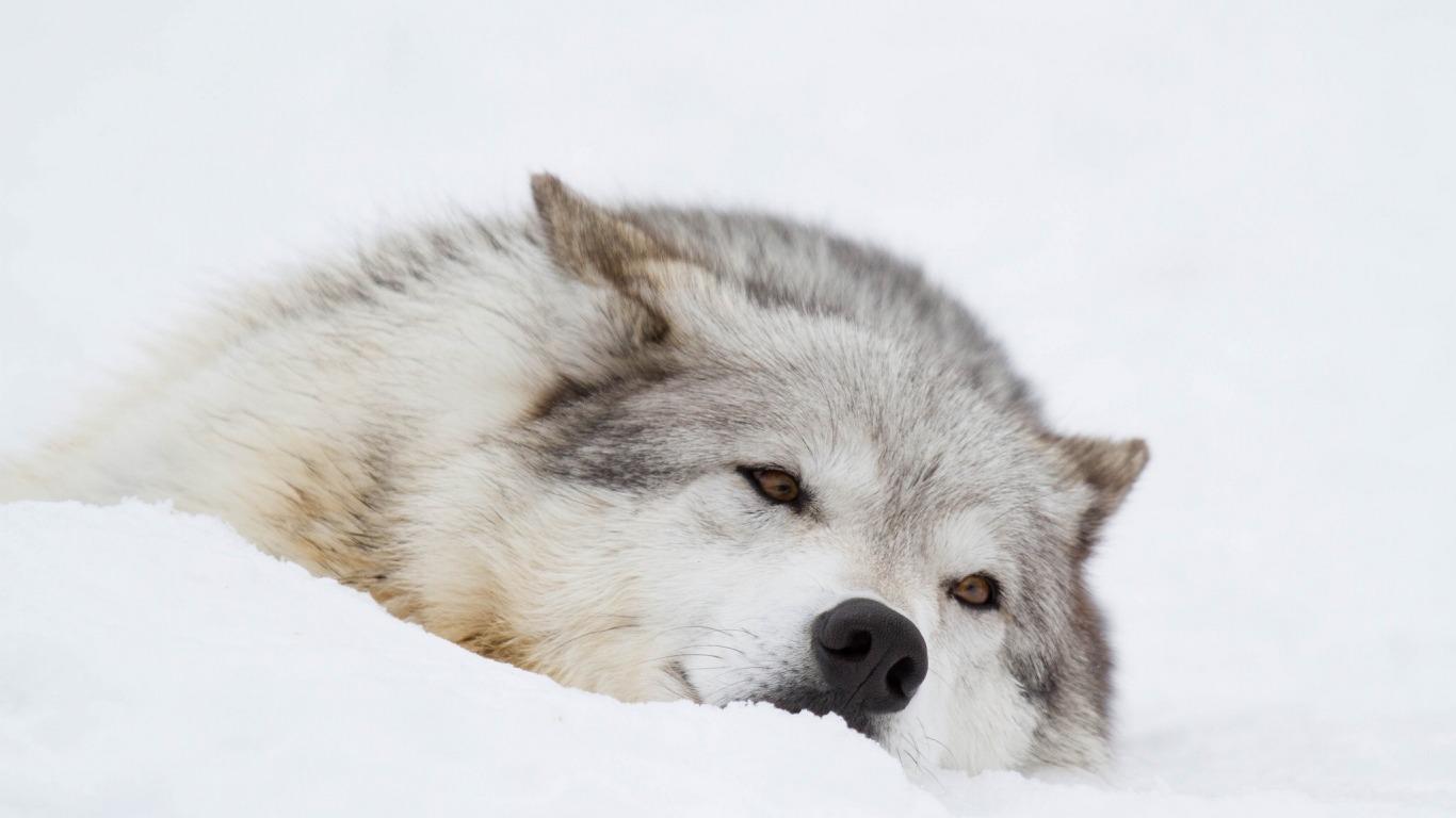 Классные картинки на рабочий стол волки, волчица, волк - подборка 11