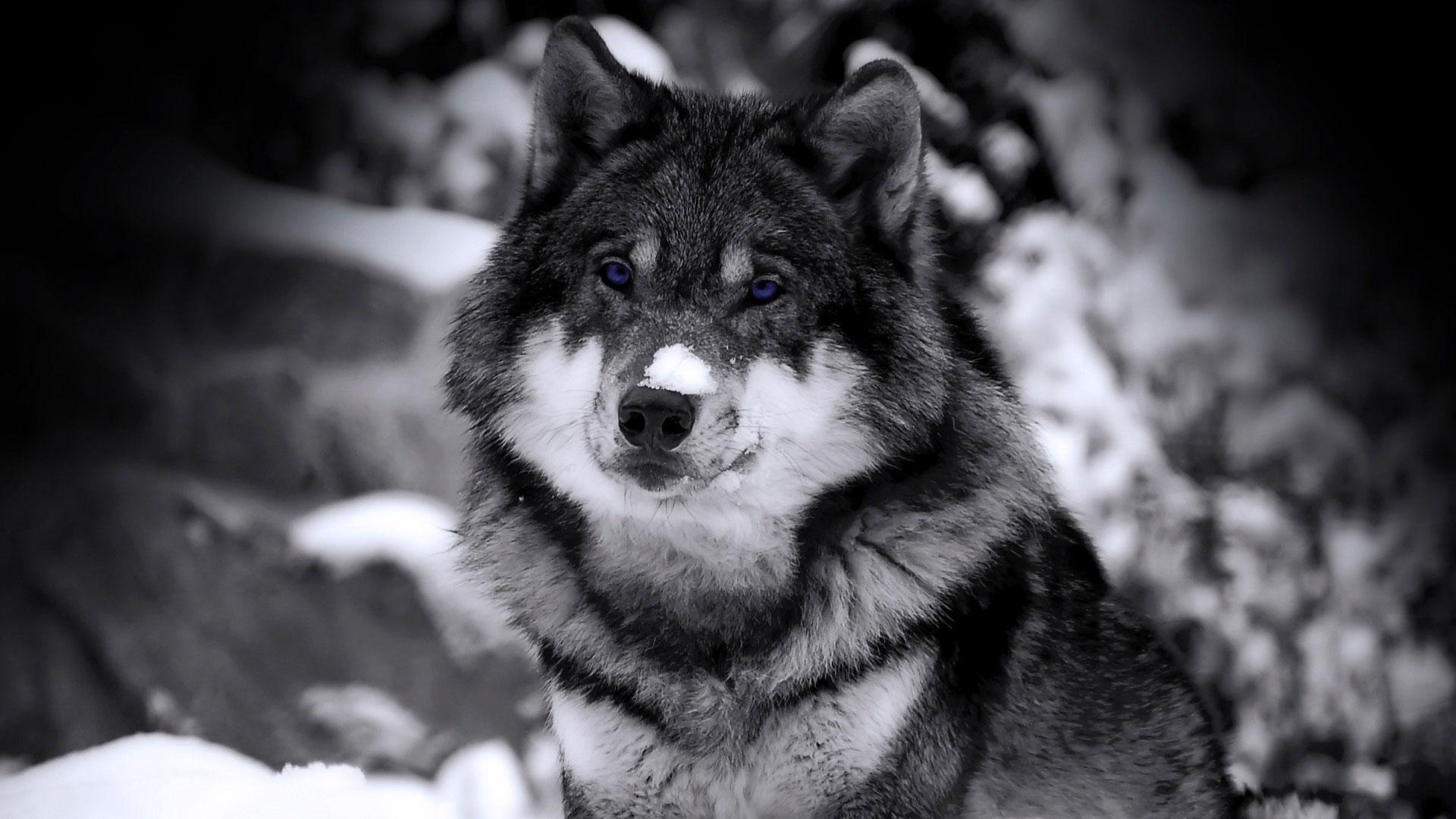 Классные картинки на рабочий стол волки, волчица, волк - подборка 12