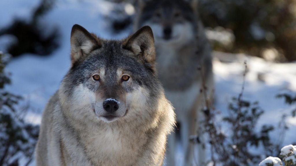 Классные картинки на рабочий стол волки, волчица, волк - подборка 13