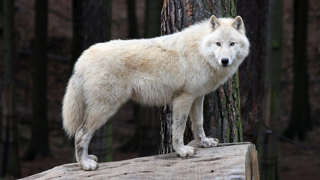 Классные картинки на рабочий стол волки, волчица, волк - подборка 14
