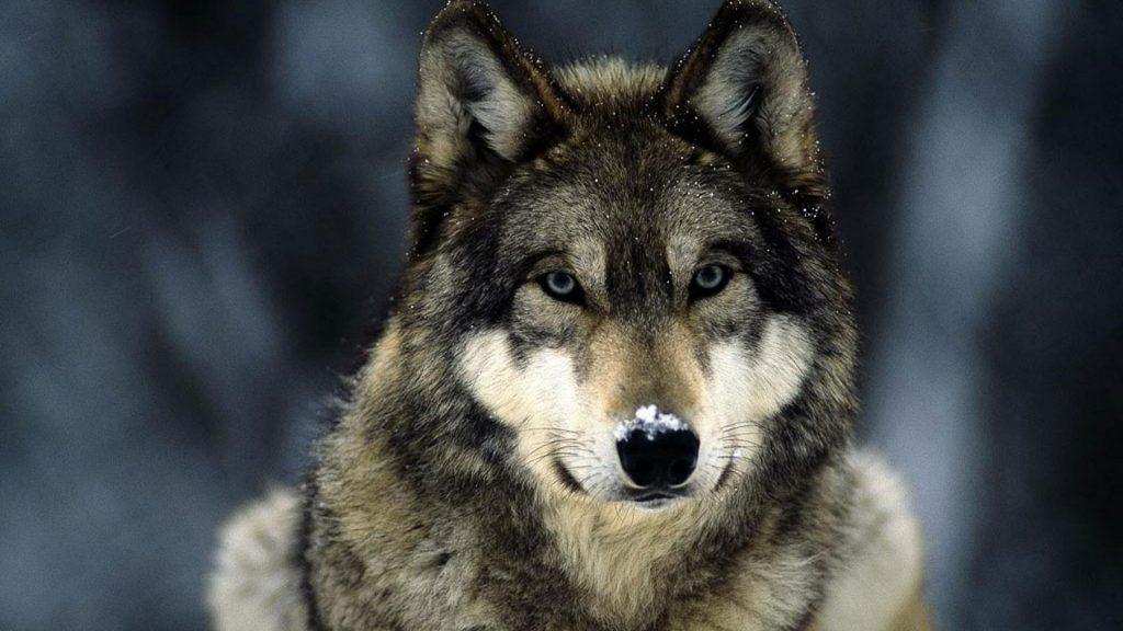 Классные картинки на рабочий стол волки, волчица, волк - подборка 15