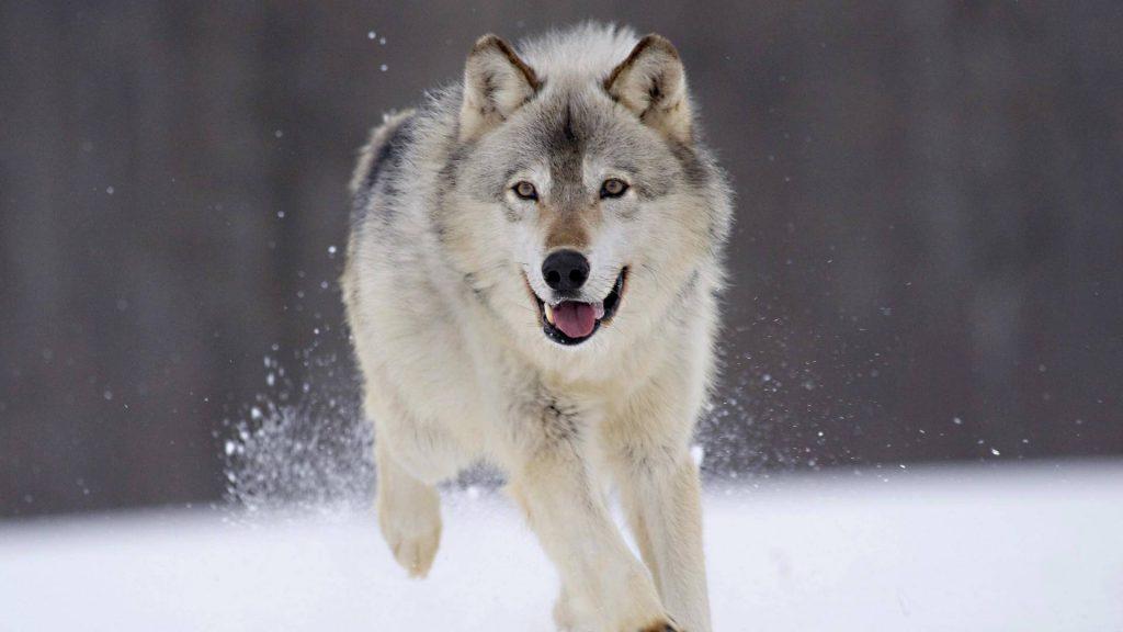 Классные картинки на рабочий стол волки, волчица, волк - подборка 16