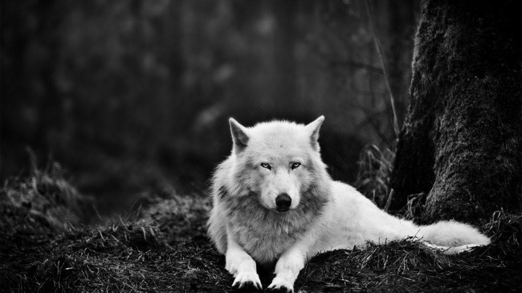 Классные картинки на рабочий стол волки, волчица, волк - подборка 5