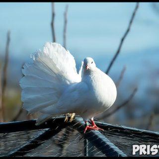 К чему снятся белые голуби Что означают белые голуби в сновидениях 1