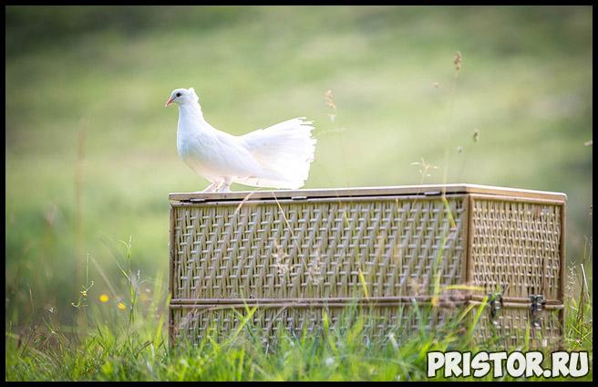 К чему снятся белые голуби Что означают белые голуби в сновидениях 3