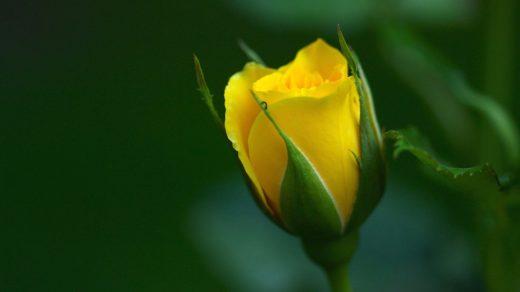 Удивительные картинки на рабочий стол Желтые розы - подборка 13