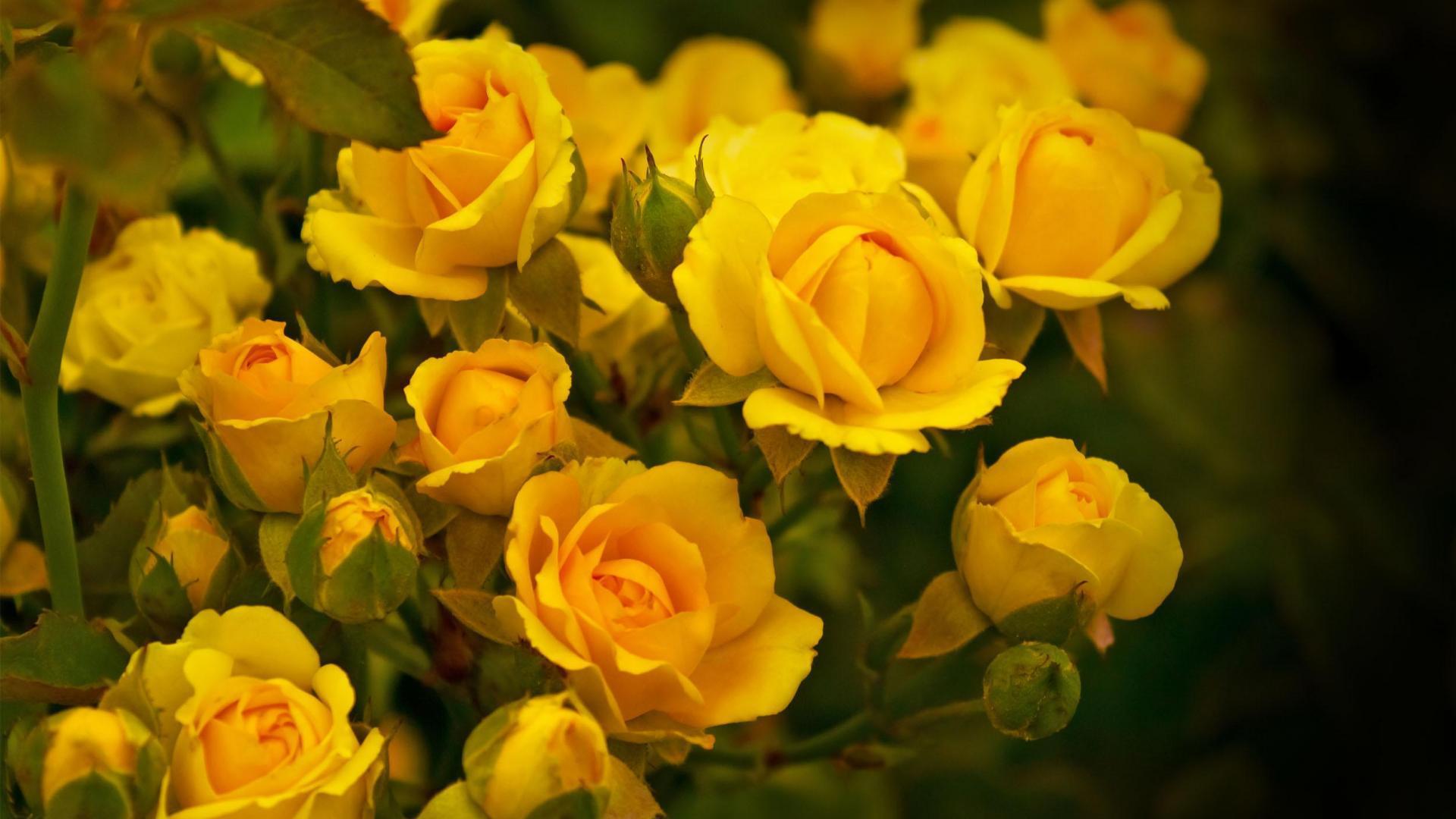 Удивительные картинки на рабочий стол Желтые розы - подборка 15
