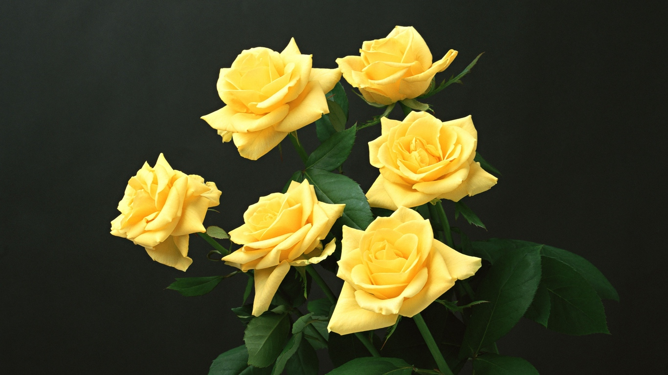 Удивительные картинки на рабочий стол Желтые розы - подборка 5