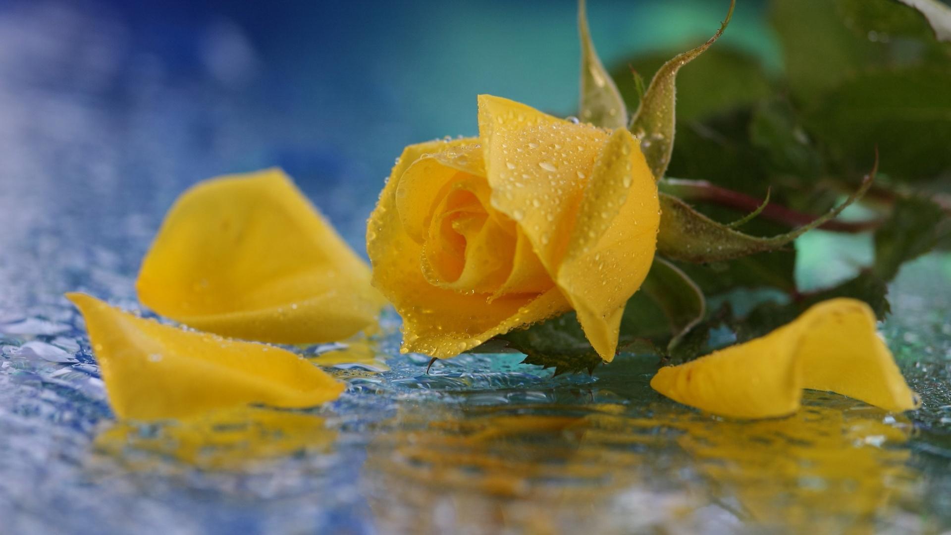 Удивительные картинки на рабочий стол Желтые розы - подборка 8