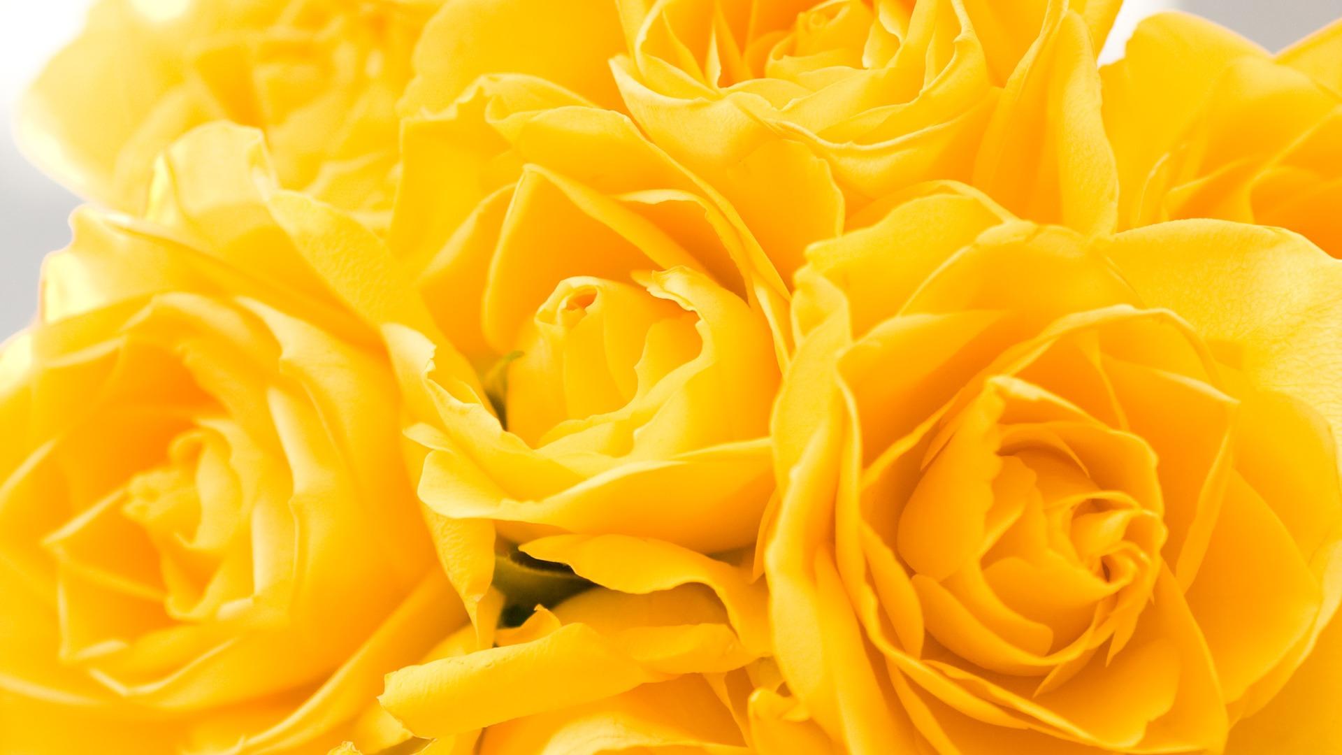 Удивительные картинки на рабочий стол Желтые розы - подборка 9