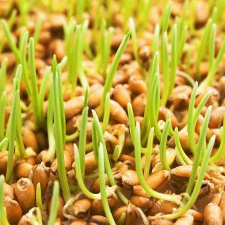 Чем полезны пророщенные зёрна пшеницы Новости, интересное 1