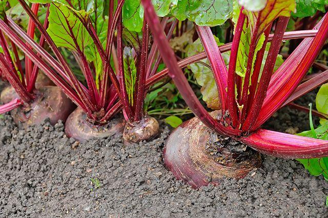 Как вырастить столовую свёклу на огороде - основные рекомендации 3