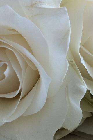 Красивые и милые картинки, обои розы для заставки телефона - сборка 10