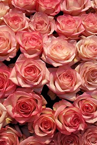 Красивые и милые картинки, обои розы для заставки телефона - сборка 11
