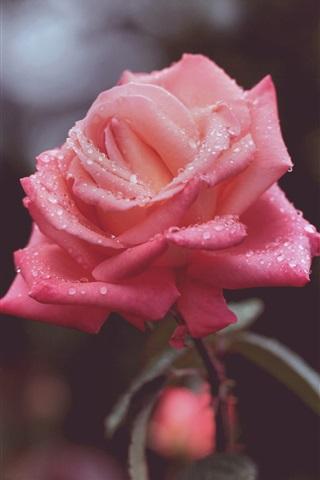 Красивые и милые картинки, обои розы для заставки телефона - сборка 16