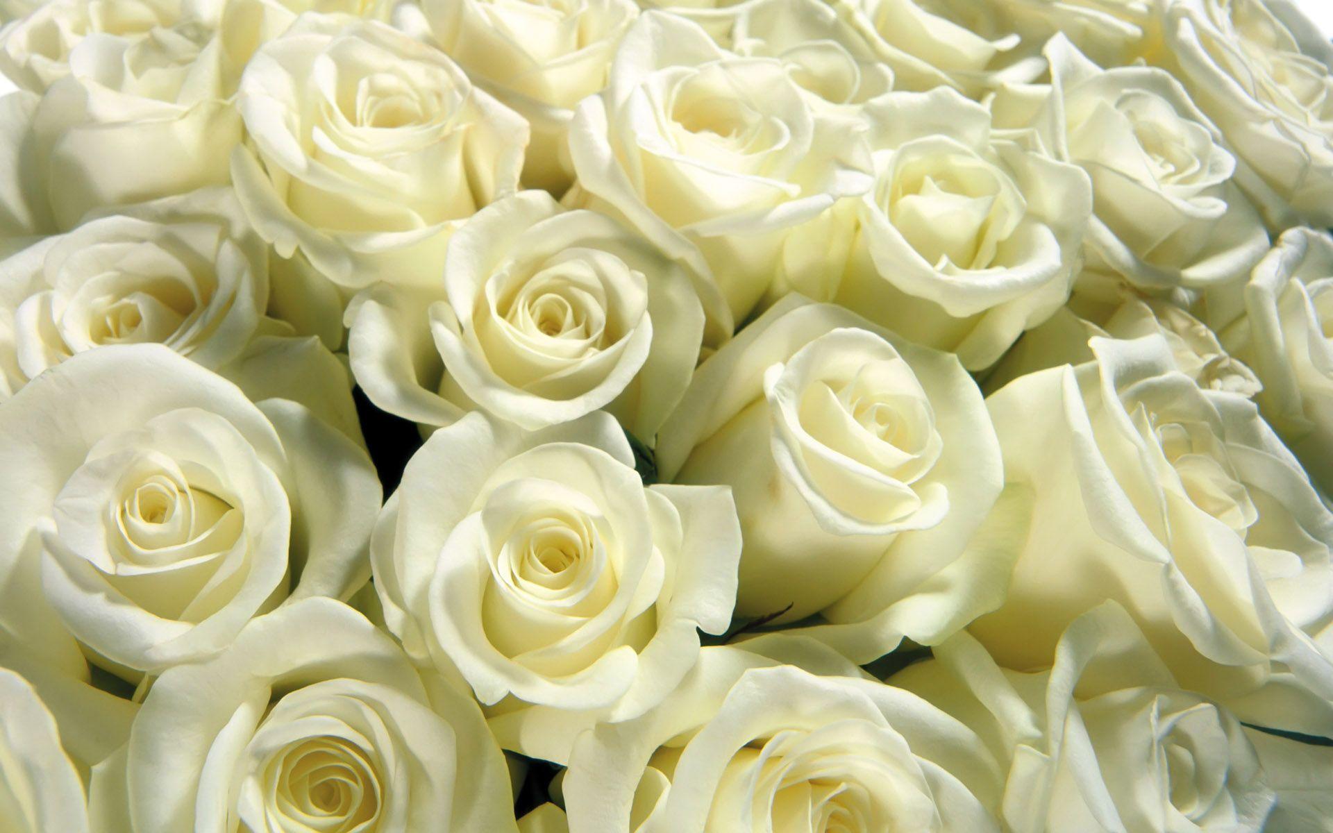 Красивые картинки цветов белые розы, удивительные букеты 12