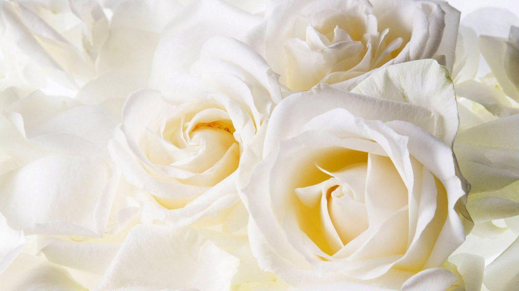 Красивые картинки цветов белые розы, удивительные букеты 15