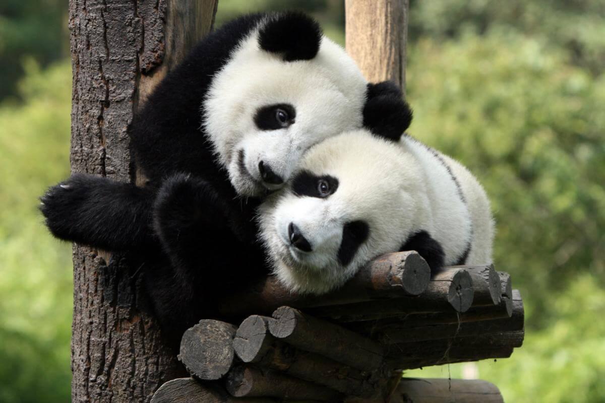 Панды очень красивые и прикольные картинки, арты, фото - подборка 11
