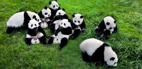 Панды очень красивые и прикольные картинки, арты, фото - подборка 13