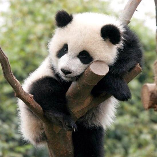 Панды очень красивые и прикольные картинки, арты, фото - подборка 15