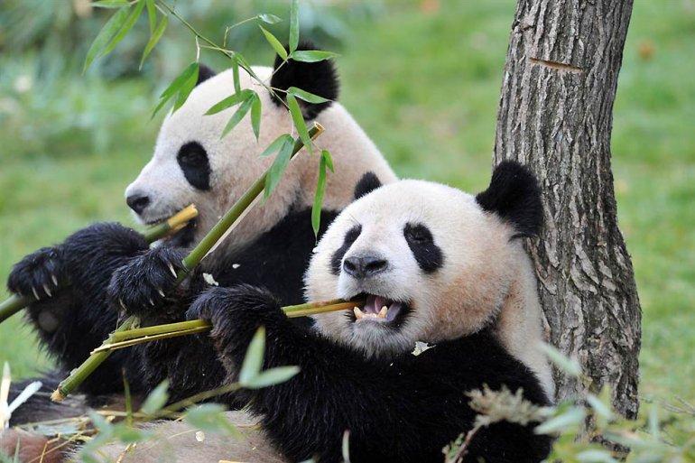 Панды очень красивые и прикольные картинки, арты, фото - подборка 18