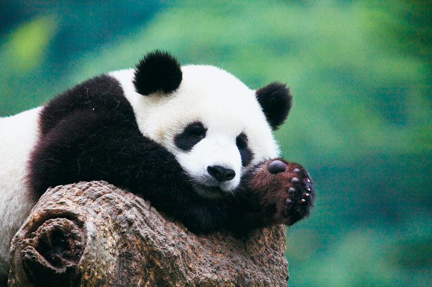 Панды очень красивые и прикольные картинки, арты, фото - подборка 2