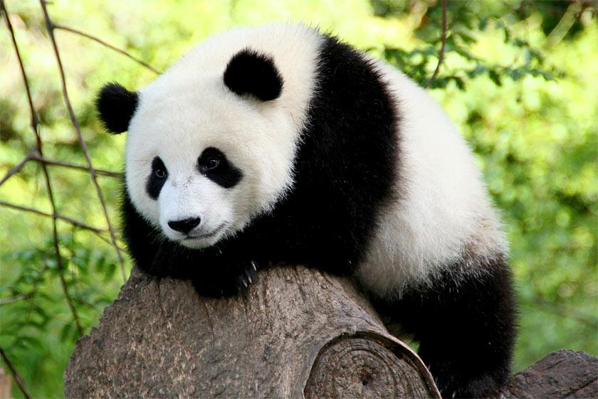 Панды очень красивые и прикольные картинки, арты, фото - подборка 20