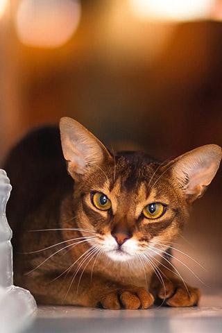 Абиссинская кошка - красивые обои для заставки телефона 12