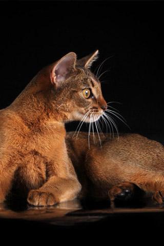 Абиссинская кошка - красивые обои для заставки телефона 13