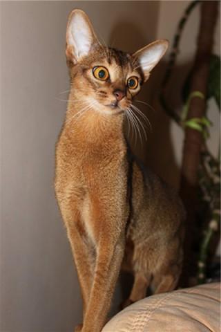 Абиссинская кошка - красивые обои для заставки телефона 14