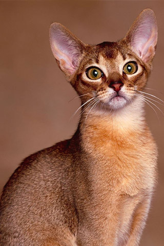 Абиссинская кошка - красивые обои для заставки телефона 2