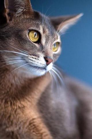 Абиссинская кошка - красивые обои для заставки телефона 3