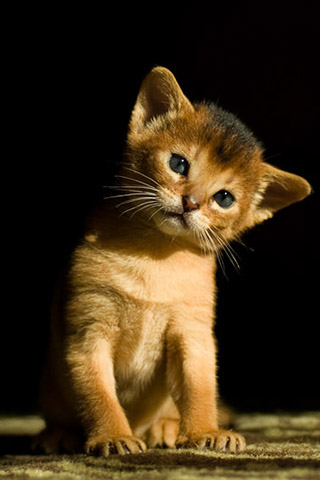 Абиссинская кошка - красивые обои для заставки телефона 4