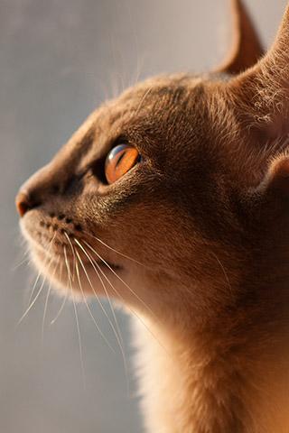 Абиссинская кошка - красивые обои для заставки телефона 5