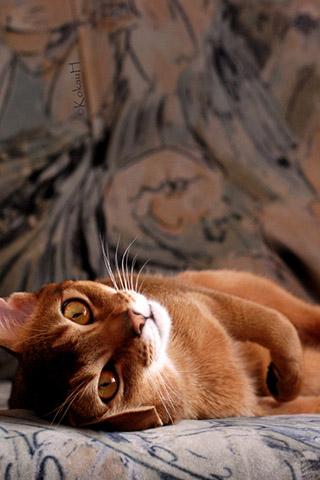Абиссинская кошка - красивые обои для заставки телефона 6