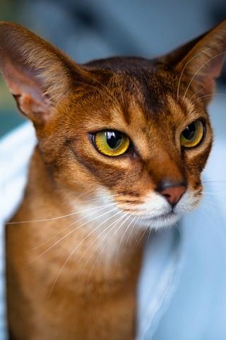 Абиссинская кошка - красивые обои для заставки телефона 9