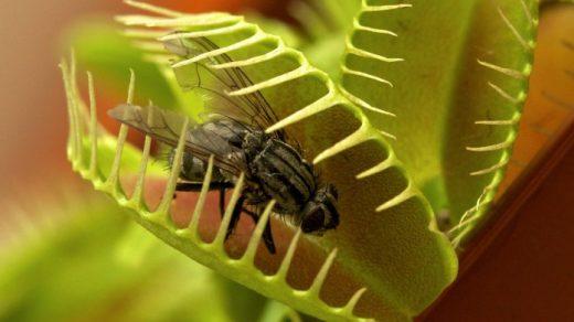 Венерина мухоловка - выращиваем хищника дома, важные секреты 2